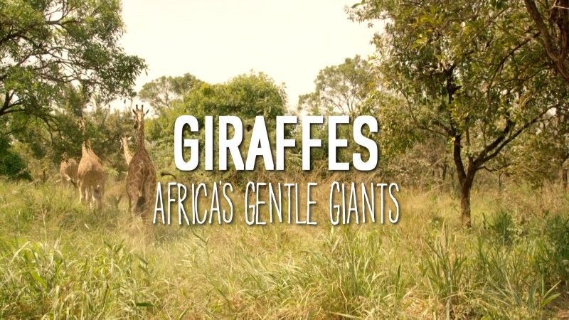 Giraffes: Africa's Gentle Giants (Natural World)
