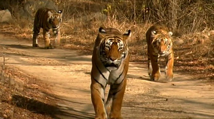 BBC Natural World Battle to Save the Tiger DVB XviD MP3  org avi preview 0